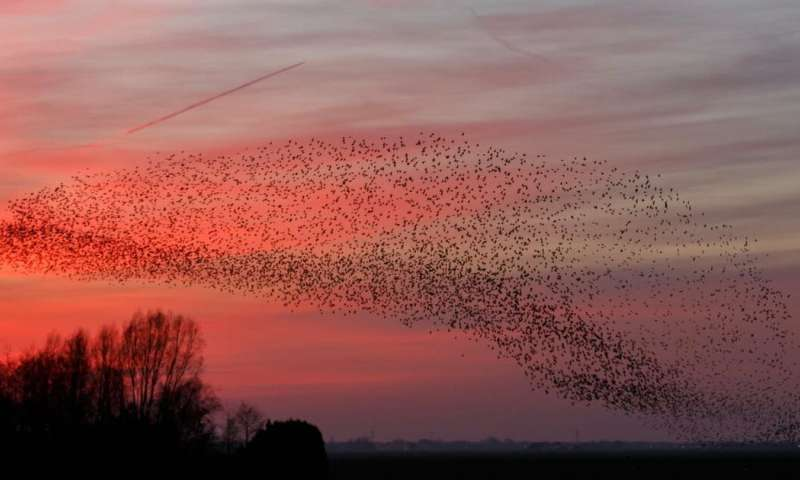 Starling murmurations: the science behind one of nature's greatest displays