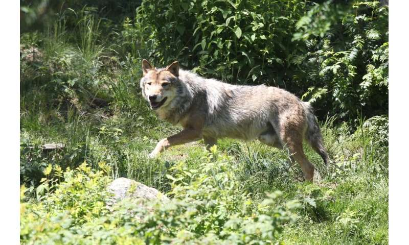 Starting in 1992, grey wolves started re-appearing in France, arriving across the Alps from Italy