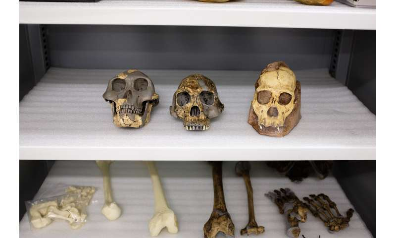 Statistical study finds it unlikely South African fossil species is ancestral to humans