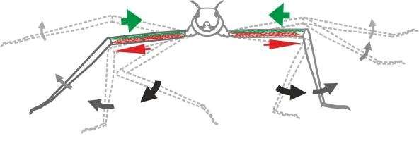 Stick insect study shows the significance of passive muscle force for fast movements