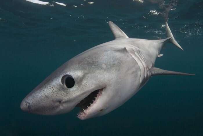 Study dives deep into saving endangered shark