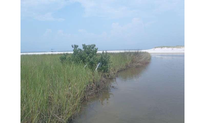 Study examines black mangroves impact on the salt marsh food web
