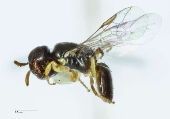 Study finds tiny cavities in Banksia trees are nests for native bees