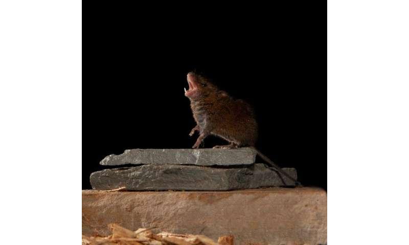 Study of singing mice suggests how mammalian brain achieves conversation