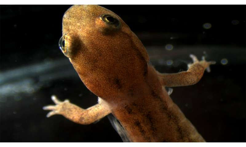 Study shows lungless salamanders' skin expresses protein crucial for lung function