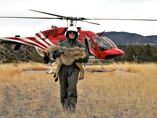 Survey: More Mexican gray wolves roaming southwestern US