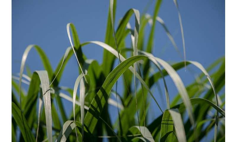 Switchgrass hybrid yields insights into plant evolution
