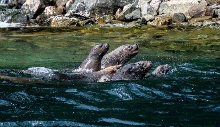 The changing concentration of calcium carbonate in the fjord waters is thought to be one reason sea lions are now found in Punta