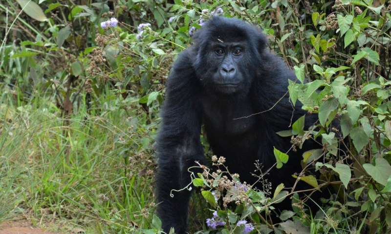 The contrasting fortunes of the planet's greatest apes