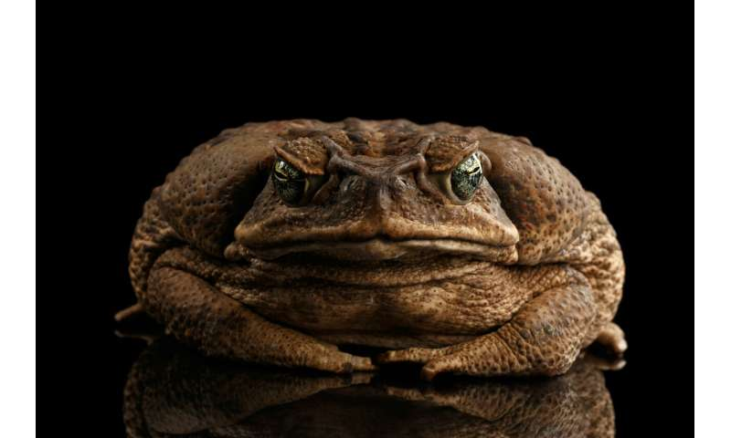 The economics of 'cash for cane toads' – a textbook example of perverse incentives