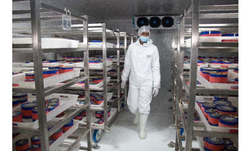 The eggs are kept in a refrigerated room at 0 degrees Celsius
