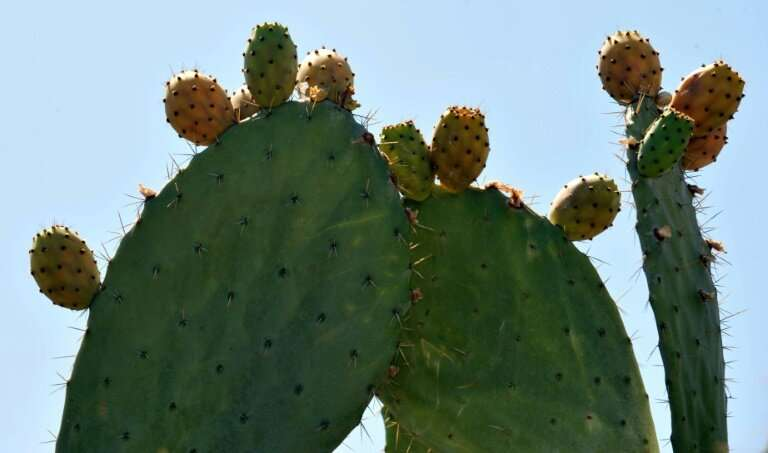 "The FAO says that beyond its immense benefits, the ""humble cactus"" can help fight food insecurity, improve soil qualit"