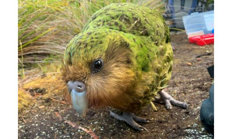 The flightless noctural kakapo was thought to be extinct just 50 years ago but its numbers are on the rise after a record breedi