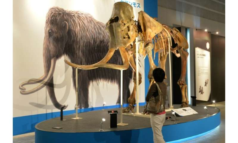 The frame specimen of a mammoth is displayed at an exhibition in Yokohama, suburban Tokyo on July 12, 2013; the giant mammals ha