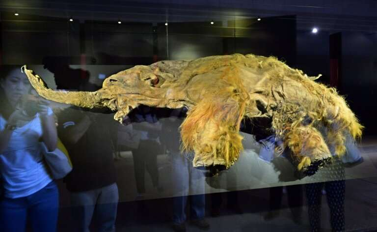 The frozen carcass of a female mammoth on  display in Yokohama a few years ago.