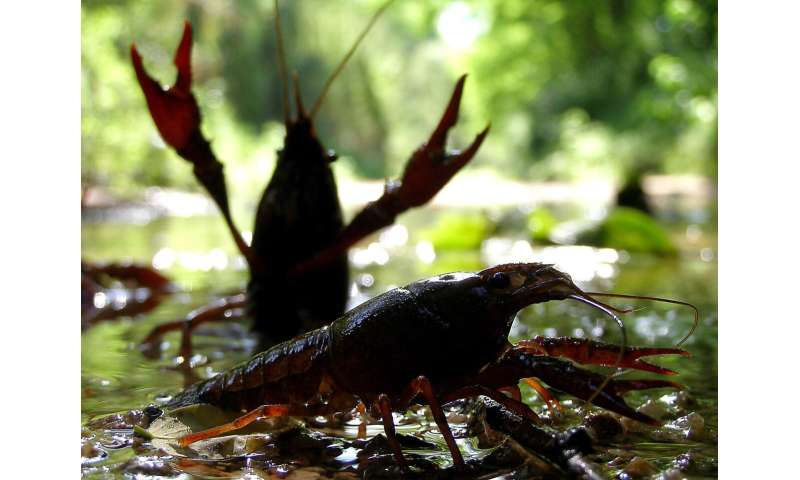 The global invasion routes of the red swamp crayfish, described based on genetics