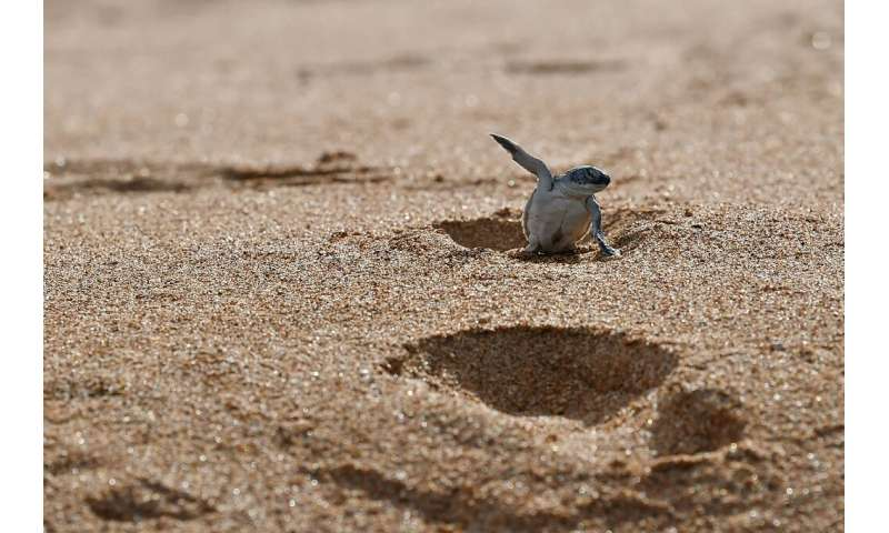 The Lamu archipelago is a haven for wildlife, including the green turtle, which nests on its beaches