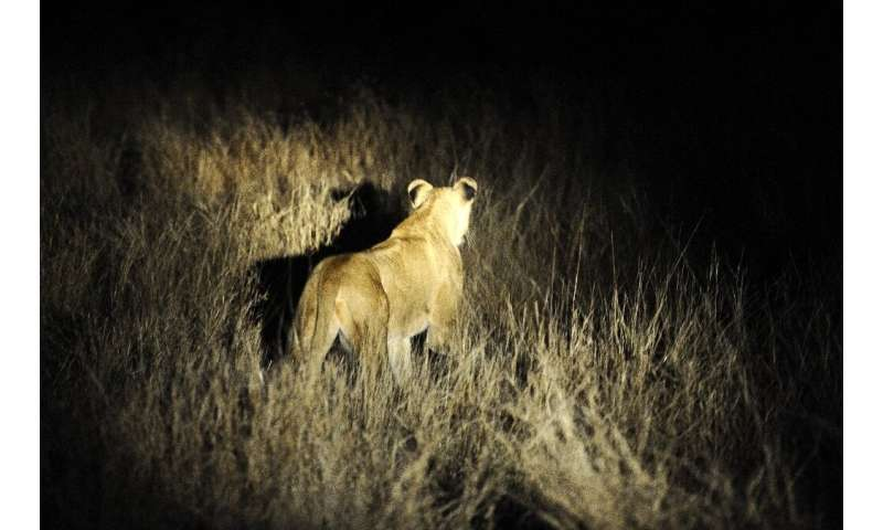 The lions have been spotted roaming around the Foskor phosphate mine outside the town of Phalaborwa on the western boundary of t