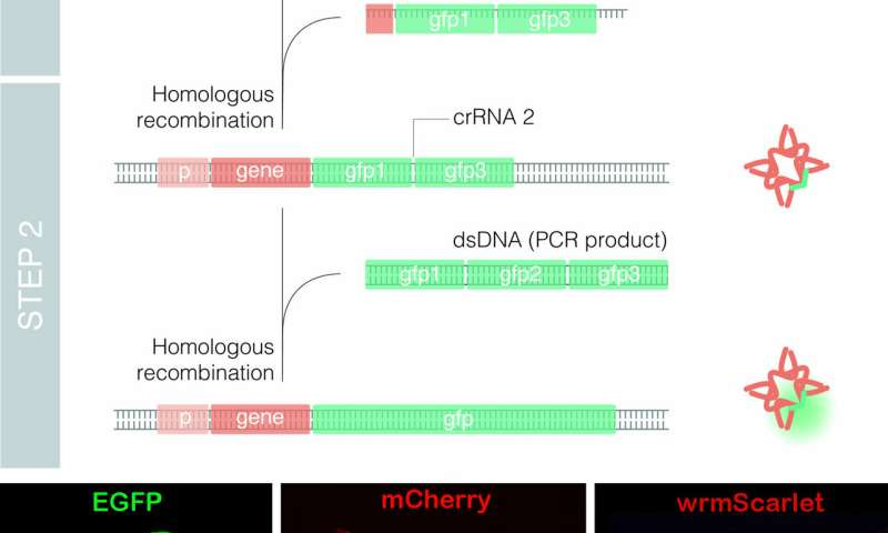 The novel method Nested CRISPR enables efficient genome editing using long DNA fragments