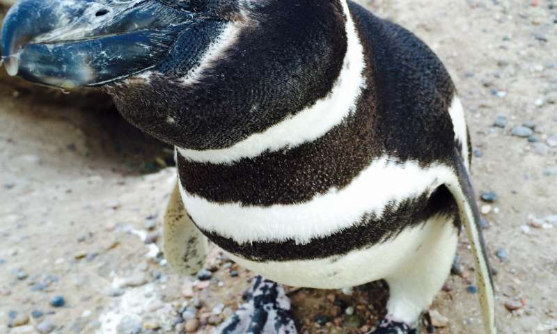 The number of single male Magellanic penguins is rising at this breeding colony. Here's why.