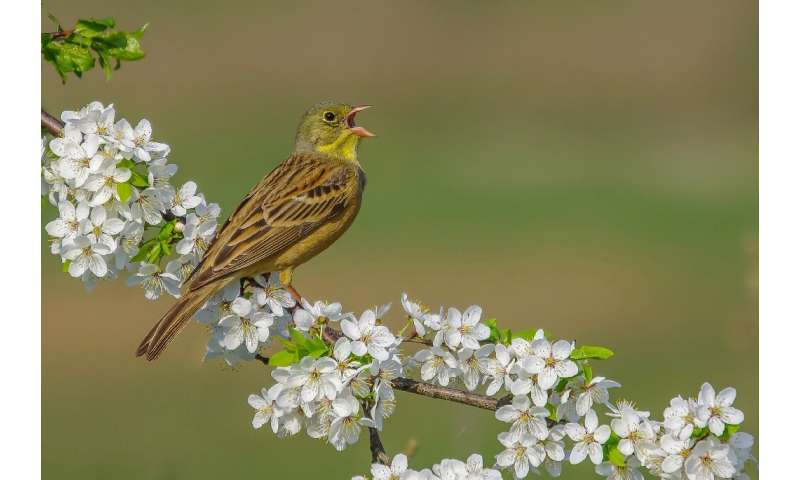 The ortolan bunting, like one seen here in Lithuania, is a prized delicacy in France