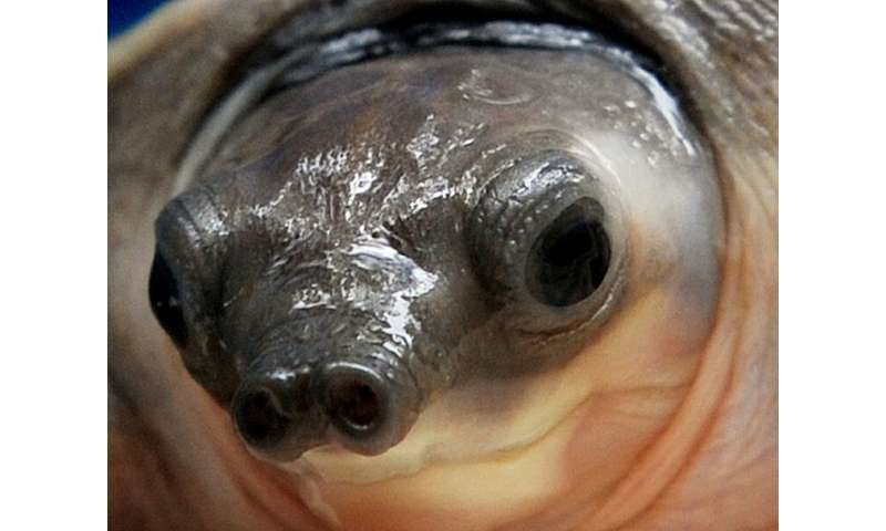 The pig-nosed turtle is in high demand in Singapore and China, where they are often sold as exotic pets