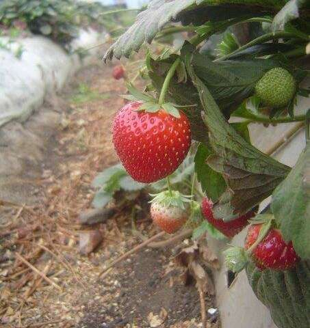 The prospects of american strawberries