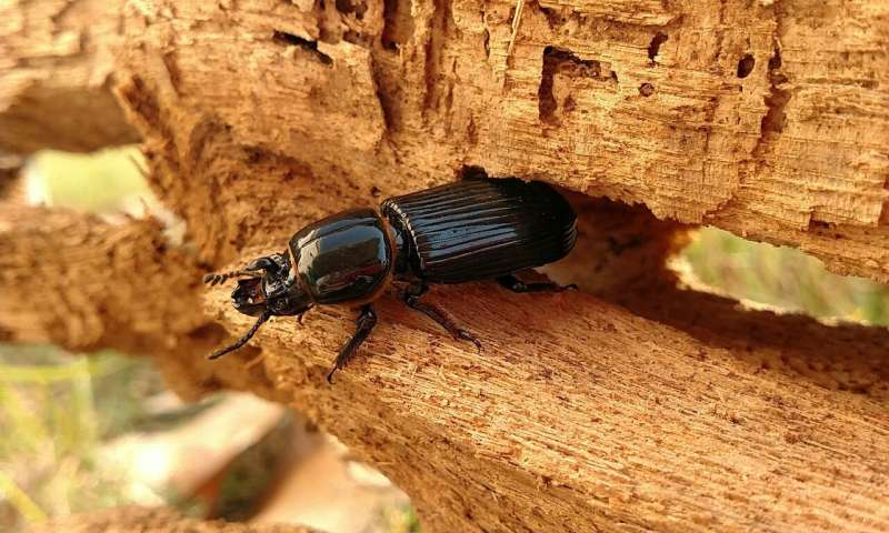 Parasites help beetle hosts function more effectively