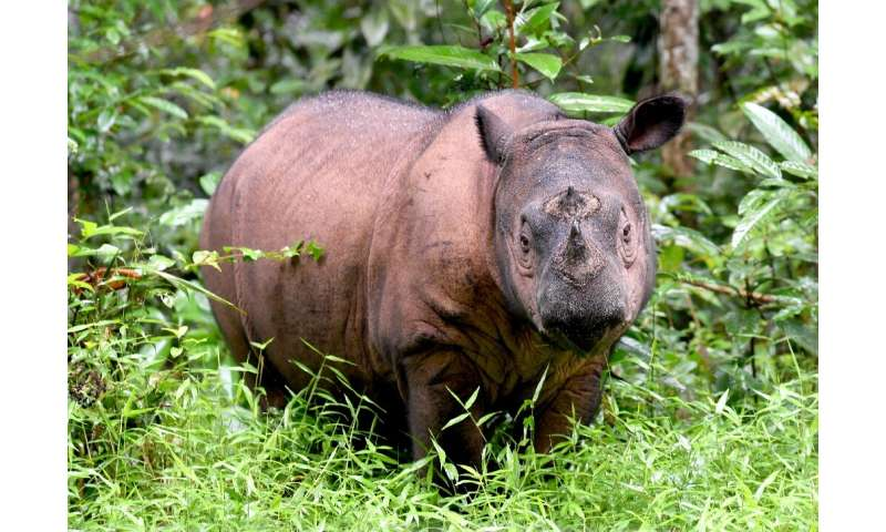 The Sumatran rhino is one of the rarest large mammals on earth