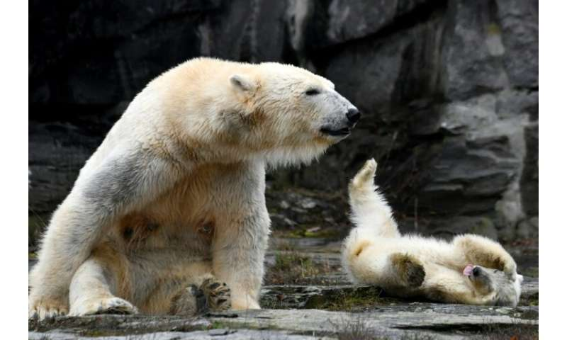 The unnamed polar bear cub frolicked with her mother Tonja at Berlin zoo