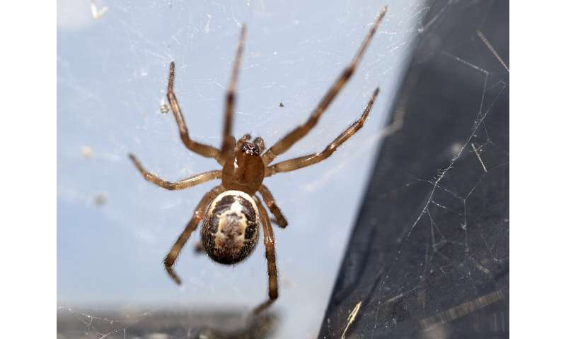 The widow next door: Where is the globally invasive noble false widow settling next?