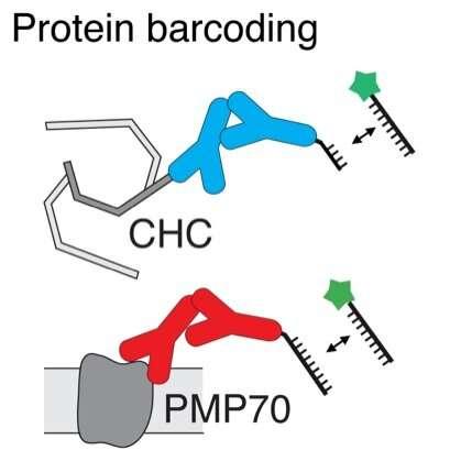 Tiny 'blinkers' enable simultaneous imaging of multiple biomolecules