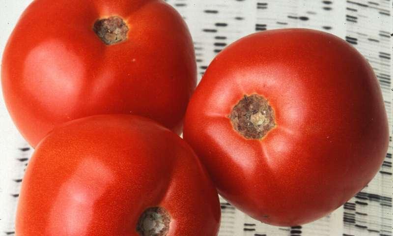 Tomato pan-genome makes bringing flavor back easier