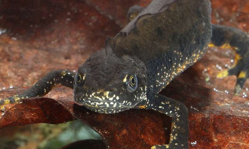 UK wild newt species free from flesh-eating fungus for now...