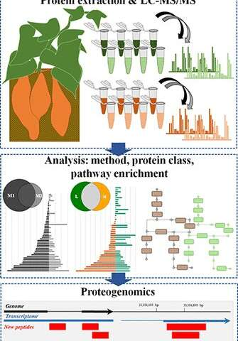 Unearthing the sweet potato proteome