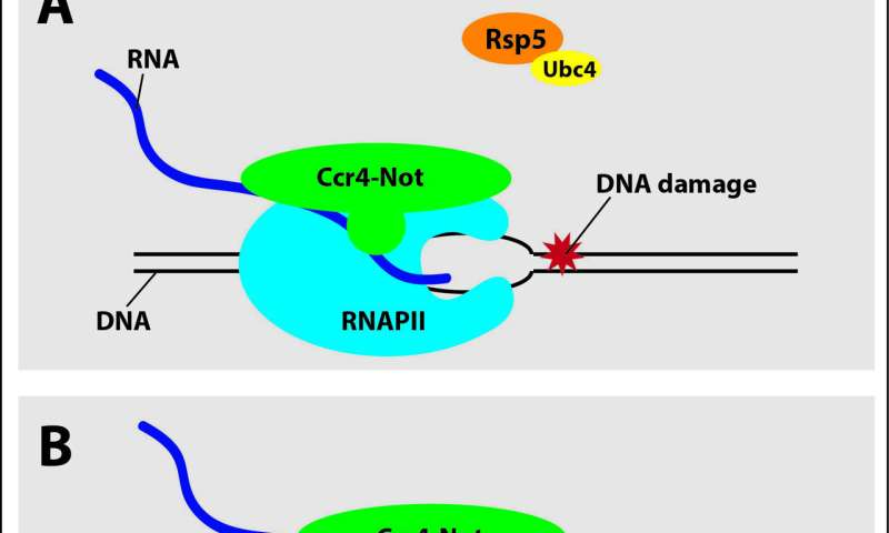 Unjamming the genome after DNA damage