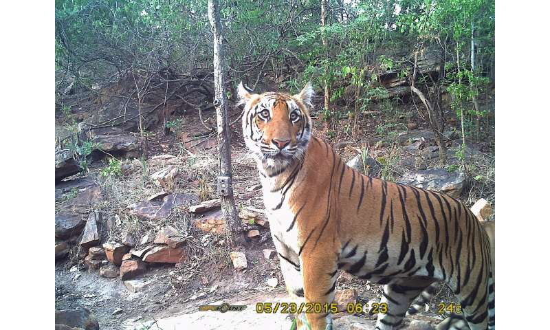 Urbanization may hold key to tiger survival