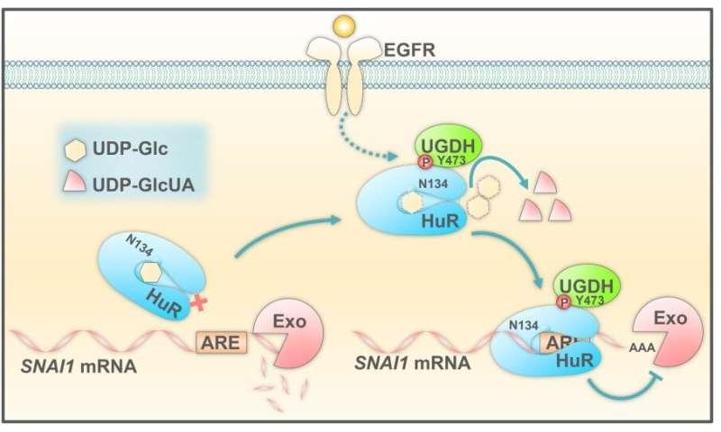 Uridine diphosphate glucose found to dampen lung cancer metastasis