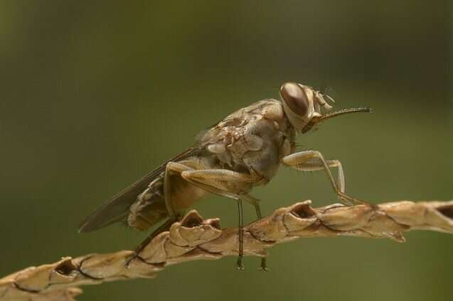 Using machine learning to eradicate the tsetse fly in sub-Saharan Africa
