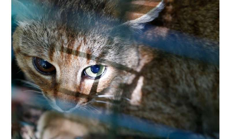 Using nonviolent methods, the ONCFS rangers in Corsica have since 2016 captured 12 of 16 felines seen in the area, releasing the