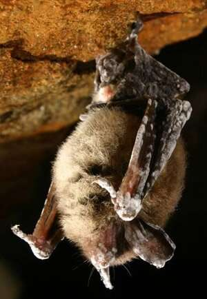 Vaccination may help protect bats from deadly disease