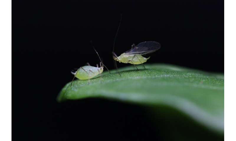 Virus genes help determine if pea aphids have their wings