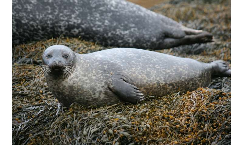 Wearable device reveals how seals prepare for diving