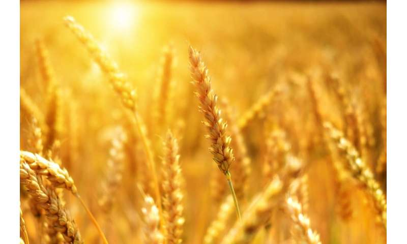 Scientists develop climate-ready wheat that can survive drought conditions