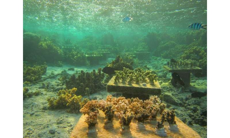 When coral species vanish, their absence can imperil surviving corals