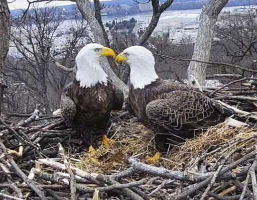 Where eagles flirt: A DC tale of love, loss and raccoons