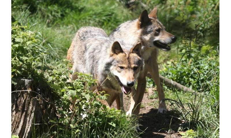 While their numbers are only a fraction of those found in Italy, Spain Romania or Poland, the predators have raised the hackles