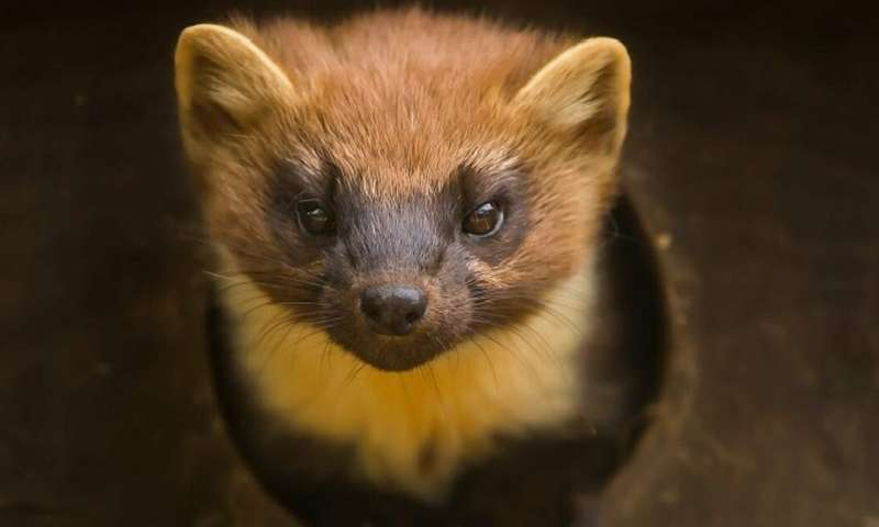 Why the pine marten is not every red squirrel's best friend