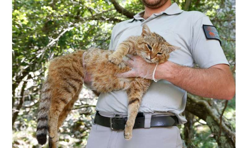 "Wildlife rangers in Corsica believe that felines they have been researching, known as ""cat-foxes"", are a new, as yet u"