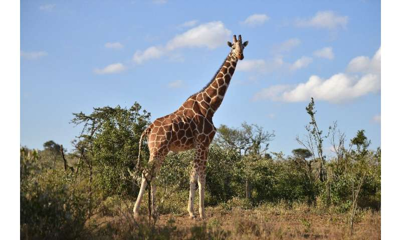 With the death of two giraffes due to a lightening strike, a male and a female, there are 18 remaining in a wildlife park in Flo